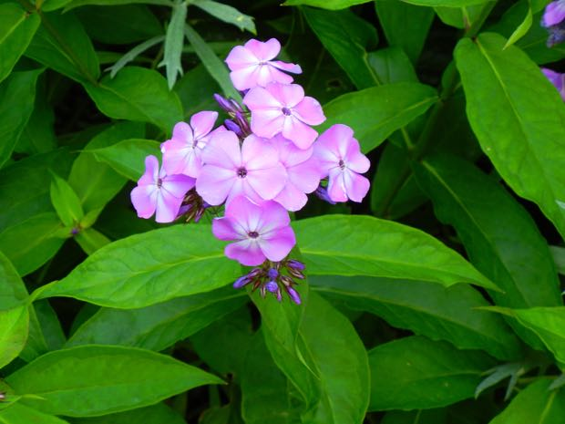 Phlox paniculata 'Little Boy'