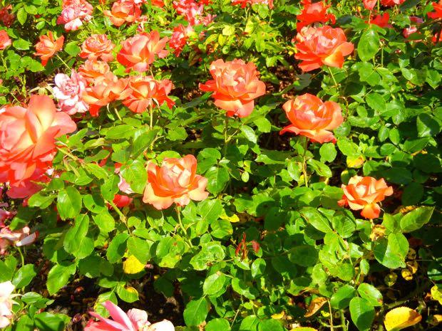 'Tintinara' Rose at Regent's Park