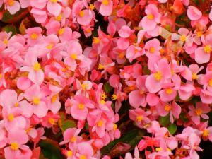Begonia Sempreflorens Ascot Pink