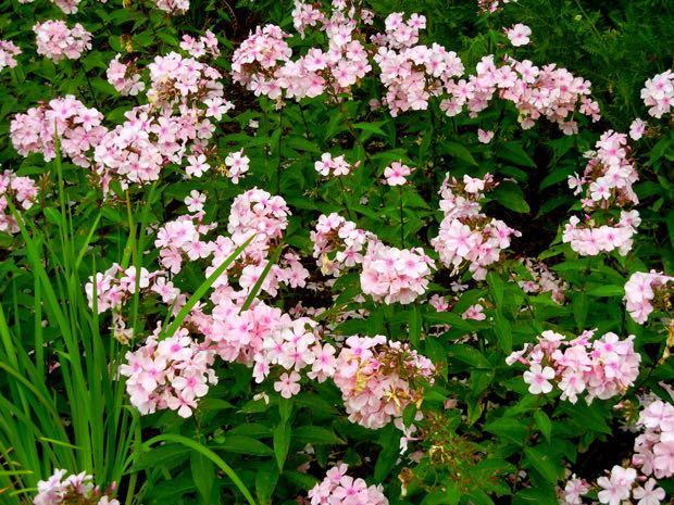 Phlox paniculata, Rosa Pastell