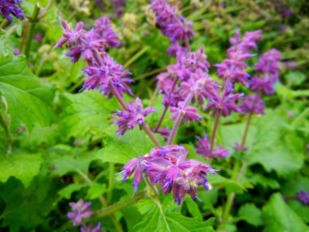 Salvia Verticillata - Purple Rain