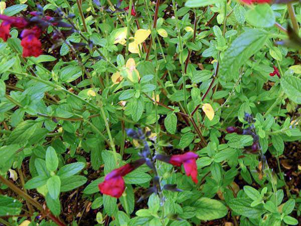 Salvia microphylla 'Maroon'