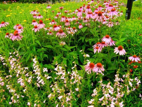 Echinacea purpurea in a border