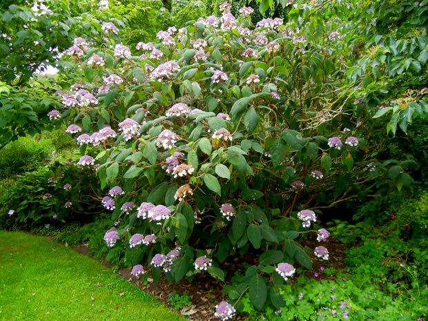 Hydrangea Aspera Macrophylla