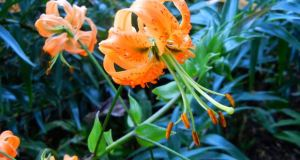 Lilium Tigrinum - Tiger Lily