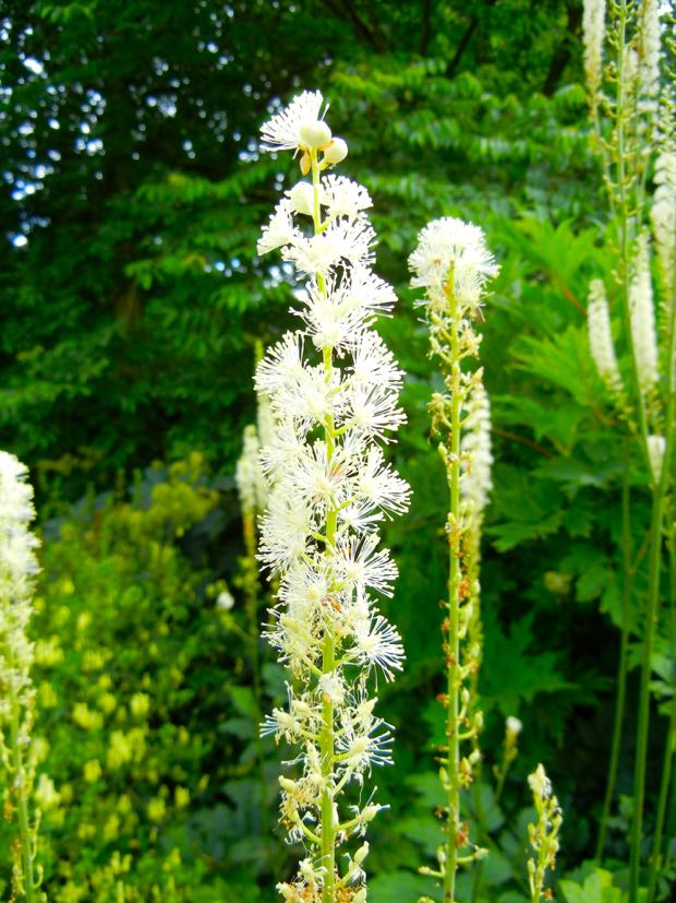 Cimicifuga Racemosa, Actaea racemosa