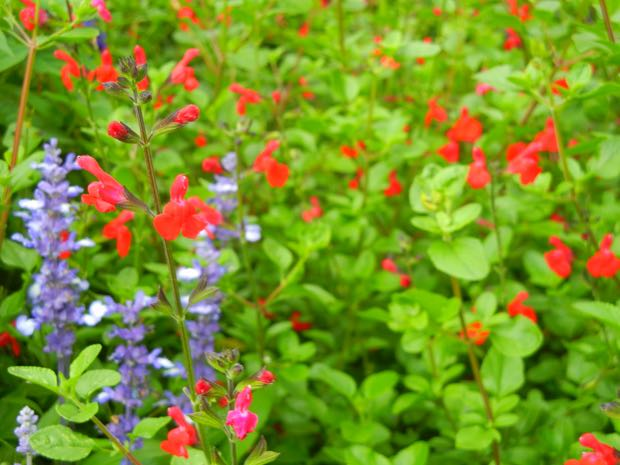 Salvia Microphylla - Kew Red