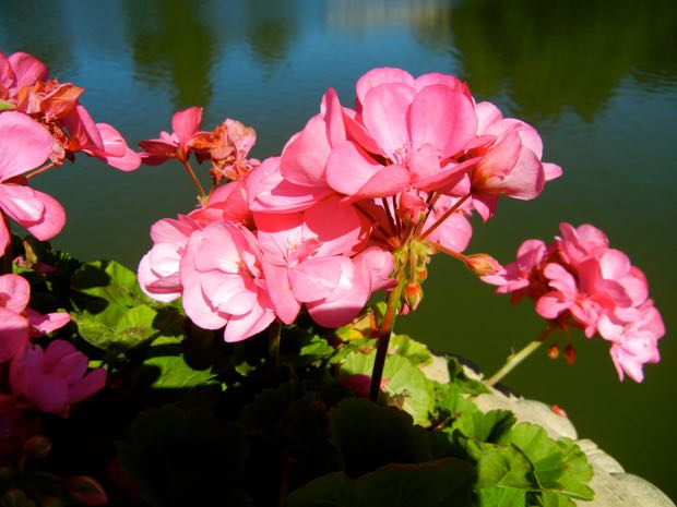 Pelargonium 'Big Eeze Pink'