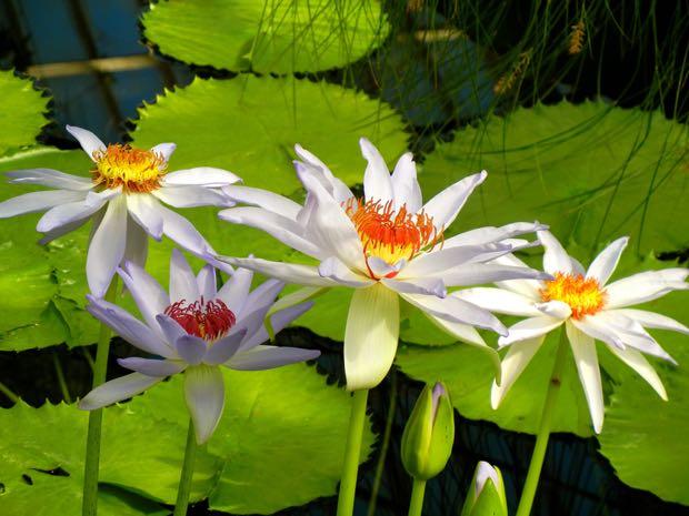 Nymphaea 'Kew's Kabuki'