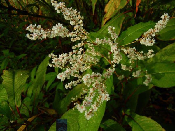 Persicaria angustifolia var laxmannii