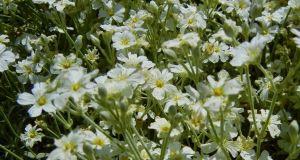 Cerastium candidissimum or Greek Snow-in-summer