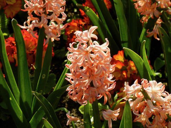 Hyacinthus orientalis 'Gipsy Queen'