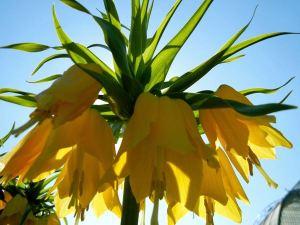 Fritillaria imperialis 'Lutea'