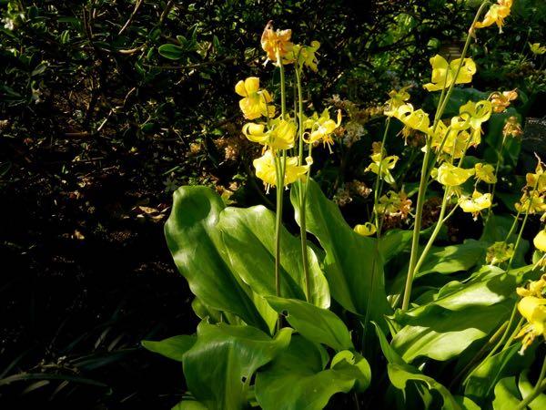 Erythronium 'Jeannine'