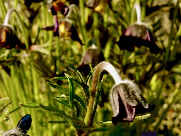 Pulsatilla pratensis subsp bohemica