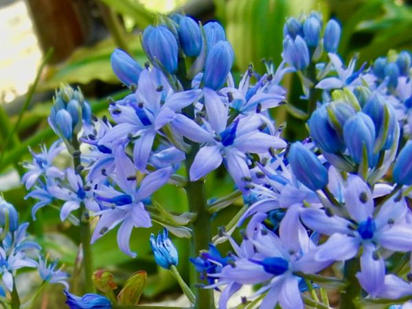 Hyacinthoides italica