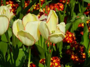 Tulip or Tulipa 'Beauty of Spring'