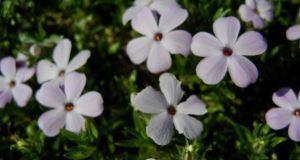 Phlox douglasii 'Rosea'