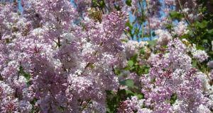 Syringa x hyacinthiflora 'Asessippi'