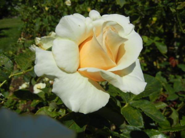 'Adrianna' Rose