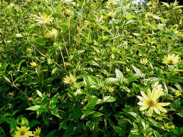 Helianthus 'Lemon Queen'