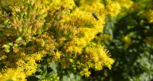 Solidago 'Golden Dwarf'