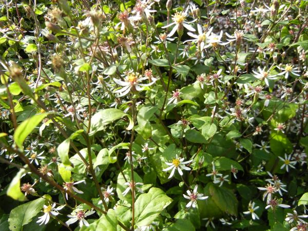 Eurybia divaricata or White Wood Aster