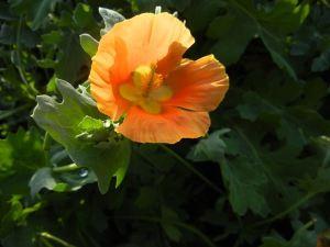 Glaucium flavum f. flavum © onlineflowergarden.com