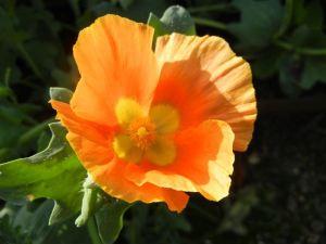 Glaucium flavum © onlineflowergarden.com