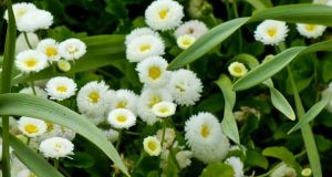 Bellis Perennis 'Galaxy White'