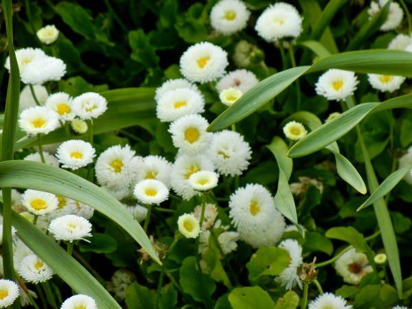 Bellis Perennis 'Galaxy White'