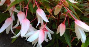 Begonia Bolivensis 'Bossa Nova'