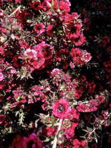 Leptospermum scoparium 'Red Damask'