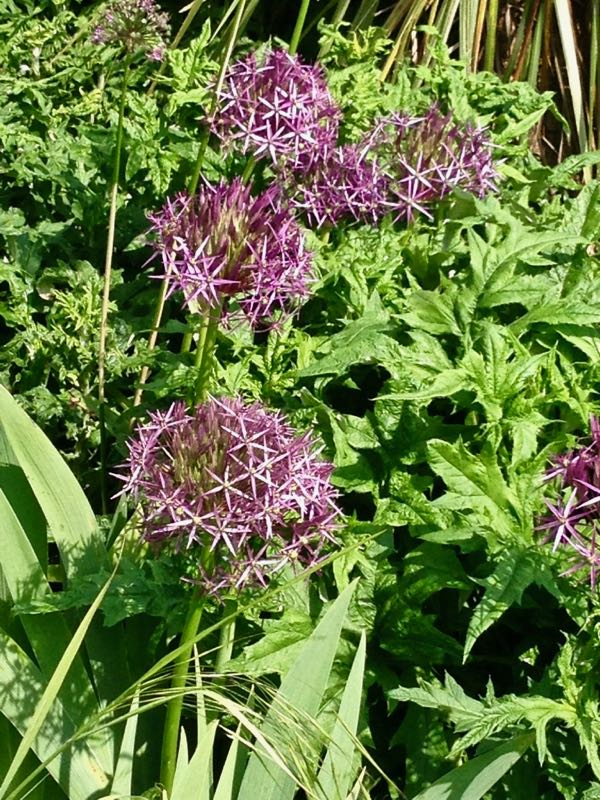Allium cristophii, Star of Persia