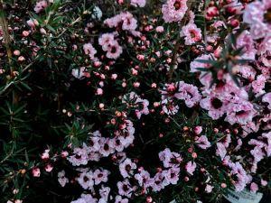 Leptospermum scoparium 'Apple Blossom'