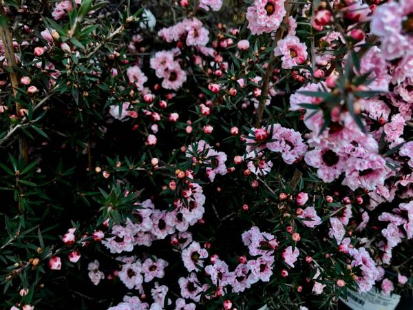 Leptospermum scoparium 'Apple Blossom'