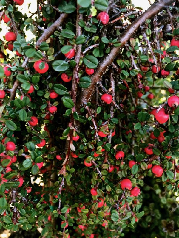 Cotoneaster dammeri 'Streib's Findling'