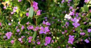 Boronia crenulata 'Shark Bay'