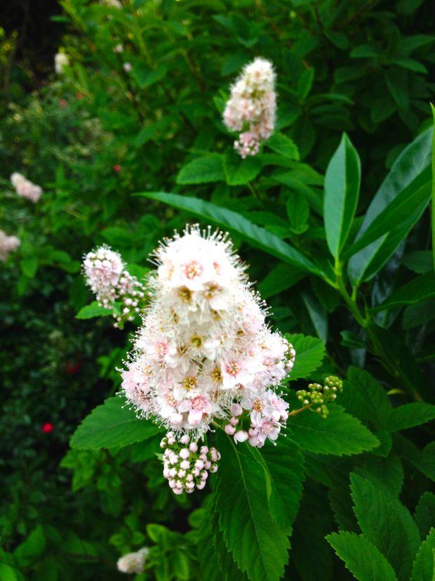 Spiraea alba, Meadowsweet