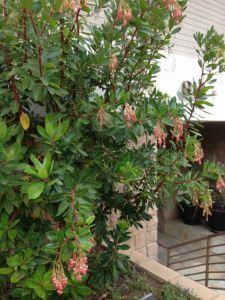 Ericaceae, Arbutus unedo