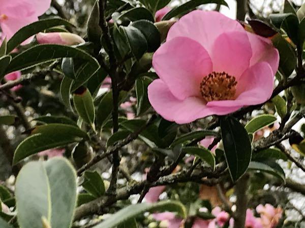 Camellia saluenensis 'Dogrose'