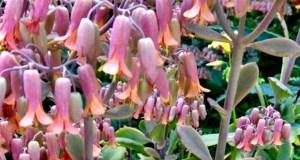 Kalanchoe laxiflora