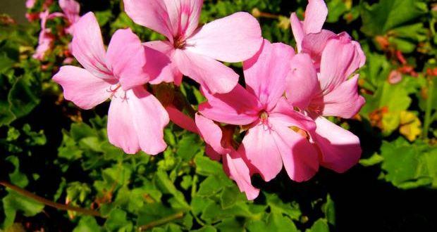 Geranium or Pelargonium 'Marcada™ Pink'
