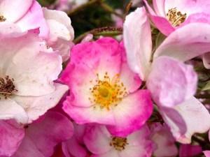 Rosa 'Ballerina' or Rose 'Ballerina'
