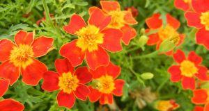 Tagetes tenuifolia 'Red Gem'