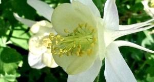 Aquilegia vulgaris 'Mellow Yellow'