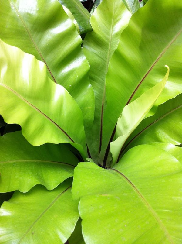 Asplenium nidus or Bird's Nest Fern