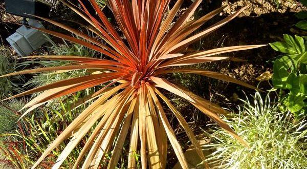 Cordyline australis 'Red Star'