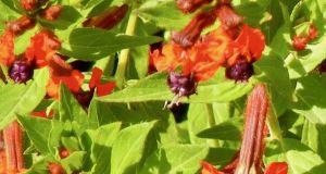 Cuphea llavea