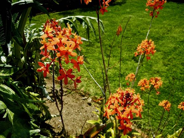 Epidendrum ibaguense 'Orange Ballerina'